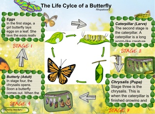 The Life Cylce of the Butterfly