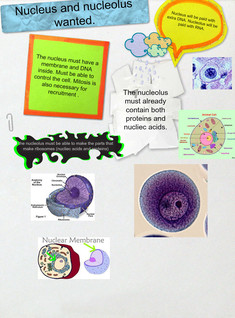 nucleus and nucleolus