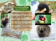 North American Porcupine's thumbnail