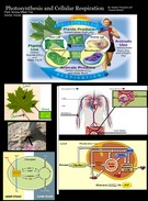 Photosynthesis & Cellular Respiration Poster's thumbnail